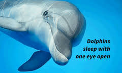download (21)-sleeping dolphin