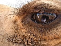 images (85)--camel eye lids