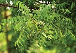 images-neem tree